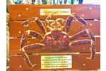 Landscape giant crab mount